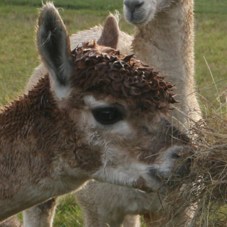 Meet the alpacas - King Kev
