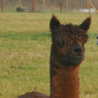 Meet the alpacas - Blockhead