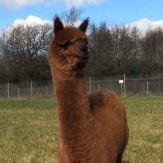 Meet the alpacas - Mr Chocolate